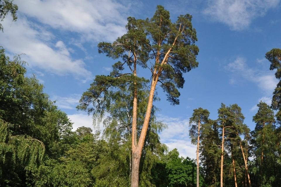 Подобное дерево (только в несколько раз толще) выросло в Слободском районе