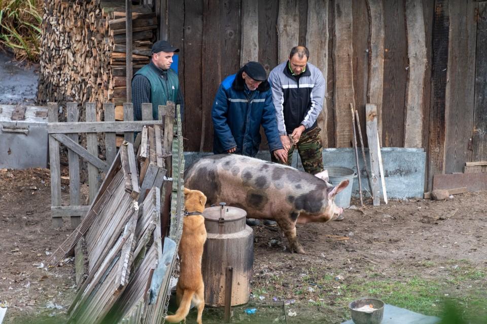 Под отчуждение попадают порядка 50 голов свиней