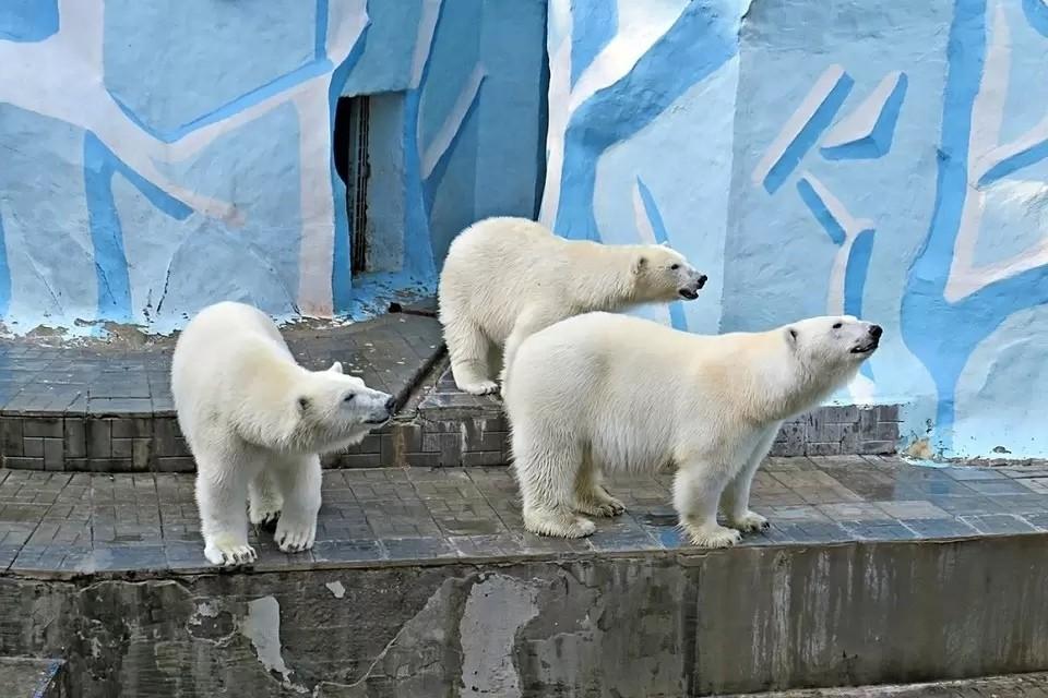 Белые медвежата Норди и Шайна родились в Новосибирском зоопарке в 2018 году.