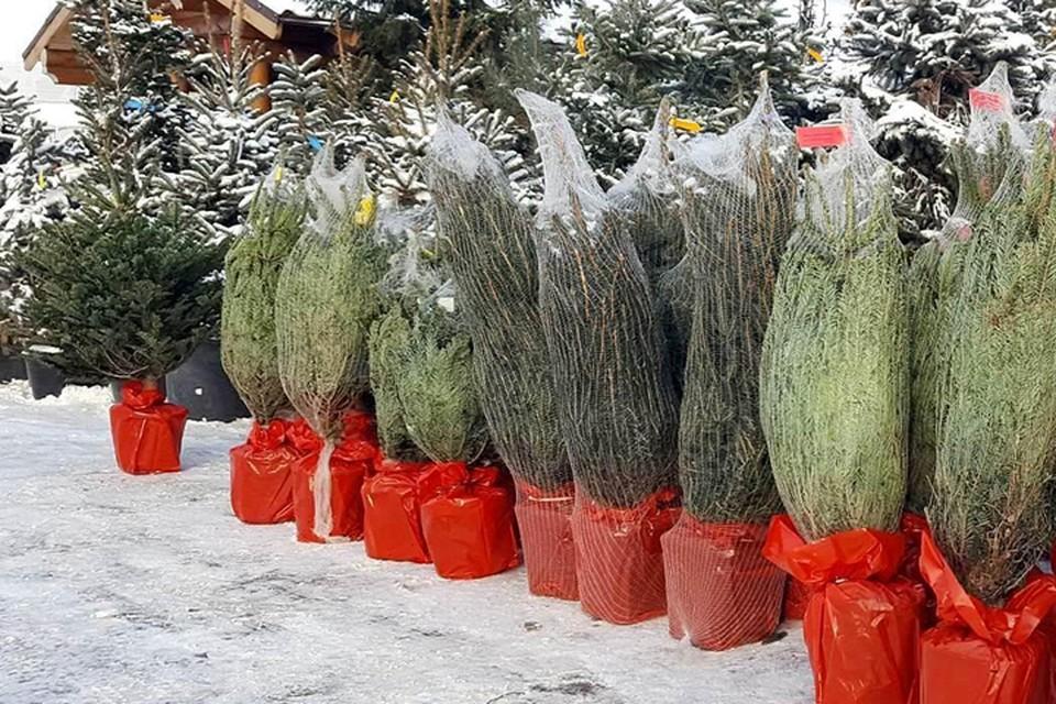 Теперь все стало намного проще: елку привезут домой, заберут обратно и весной высадят в грунт